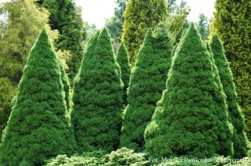 Picea glauca 'Conica' (Świerk biały) - C3