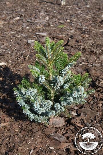 Picea bicolor 'Howell's Dwarf' (Świerk dwubarwny) - C5