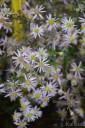 Aster ericoides 'Pink Cloud' (Aster wrzosolistny)  - C2