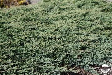 Juniperus horizontalis 'Glacier' (Jałowiec płożący) - P14