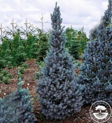 Picea pungens 'Iseli Fastigiate' (Świerk kłujący) - C5
