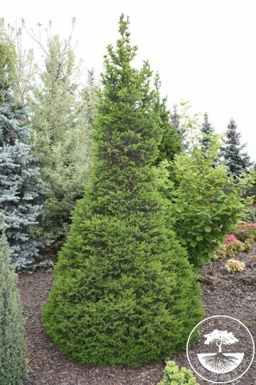 Picea abies 'Will's Zwerg' (Świerk pospolity) - C3