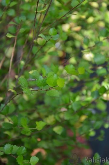 Betula nana 'Golden Treasure' (Brzoza karłowata) - C7,5 PA