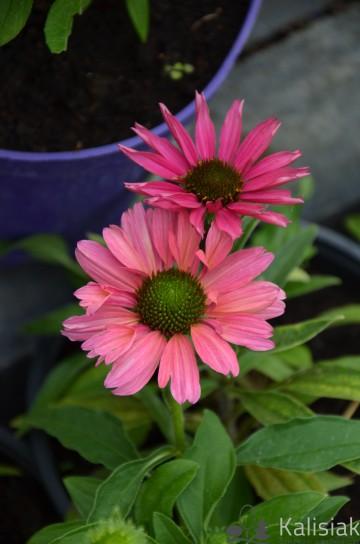 Echinacea 'SunSeekers Magenta' (Jeżówka) - C2