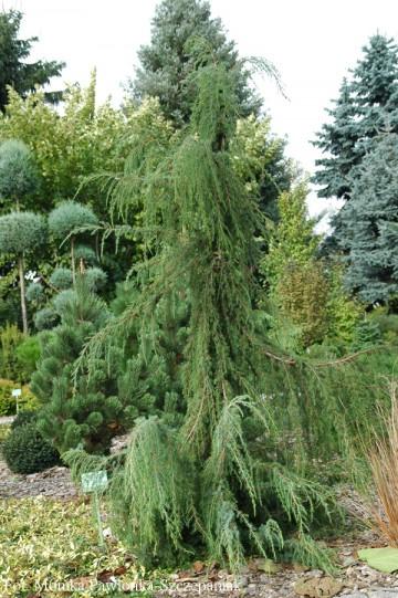 Juniperus communis 'Horstmann' (Jałowiec pospolity) - P14