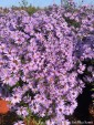Aster 'Little Prince' (Aster)  - C2