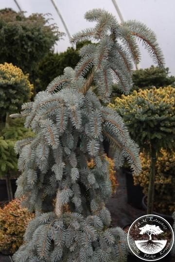 Picea pungens 'Thomsen' (Świerk kłujący) - C5