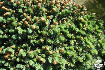 Picea rubens 'Grandfather Mountains' (Świerk czerwony) - C5