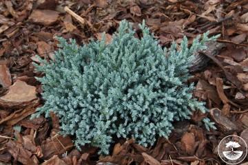 Juniperus squamata 'Tropical Blue' (Jałowiec łuskowaty) - P14