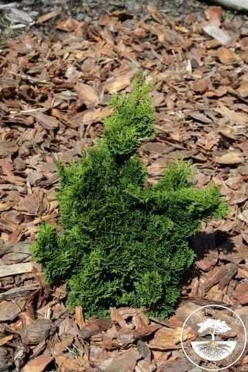 Chamaecyparis obtusa 'Little Ann' (Cyprysik tępołuskowy) - P14