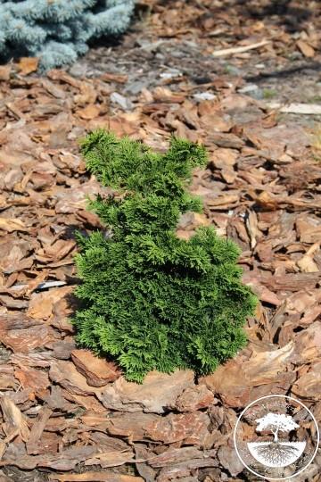 Chamaecyparis obtusa 'Little John' (Cyprysik tępołuskowy) - P14