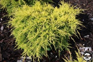 Juniperus x pfitzeriana 'Saybrook Gold' (Jałowiec Pfitzera) - C5