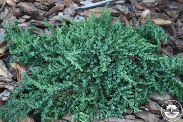 Juniperus communis 'Greenmantle' (Jałowiec pospolity)  - P14