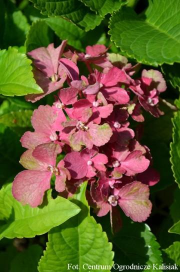 Hydrangea macrophylla 'Red Beauty' (Hortensja ogrodowa) - P16