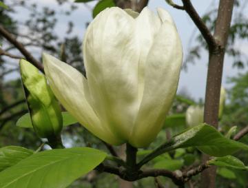 Magnolia denudata 'Yellow River' (Magnolia naga) - C7,5