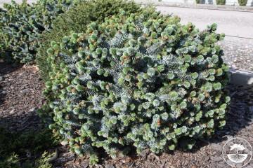 Picea sitchensis 'Silberzwerg' (Świerk sitkajski) - C5