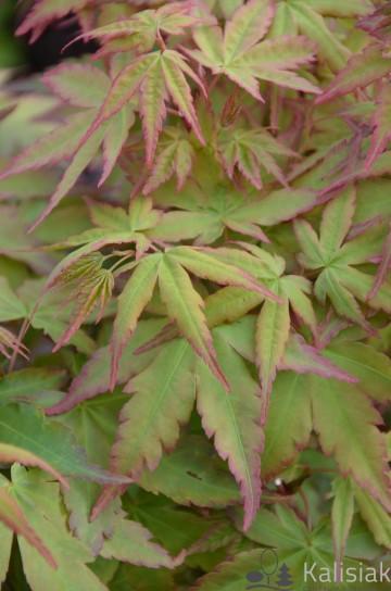 Acer palmatum 'Chameleon' (Klon palmowy) - C5 bonsai