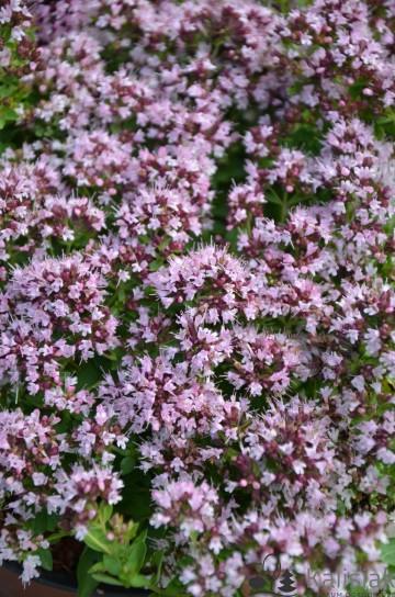 Origanum vulgare 'Compactum' (Lebiodka pospolita) - C2