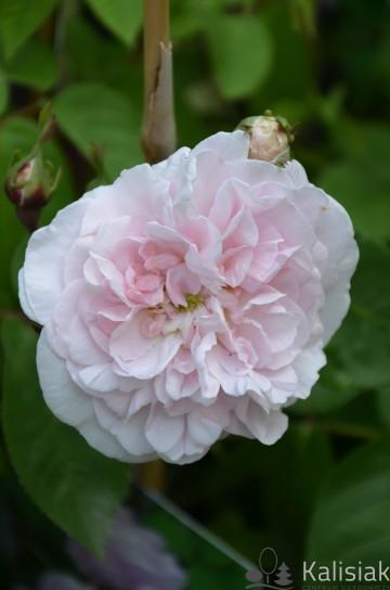Rosa 'Duchesse d'Angouleme' (Róża francuska) - C2