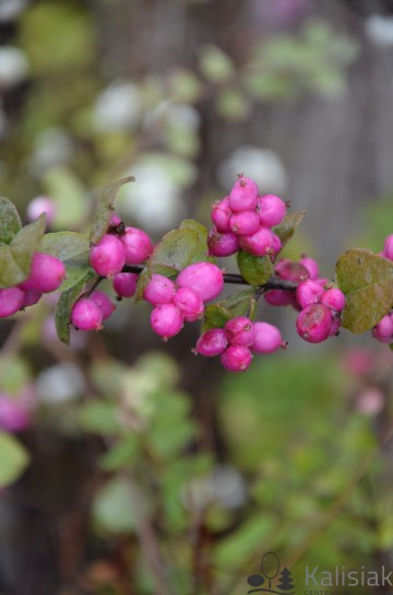 Symphoricarpos x doorenbosii 'Magic Berry' (Śnieguliczka Doorenbosa)  - C5