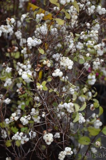 Symphoricarpos x doorenbosii 'White Hedge' (Śnieguliczka Doorenbosa) - C5