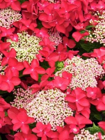Hydrangea macrophylla 'Teller Red'