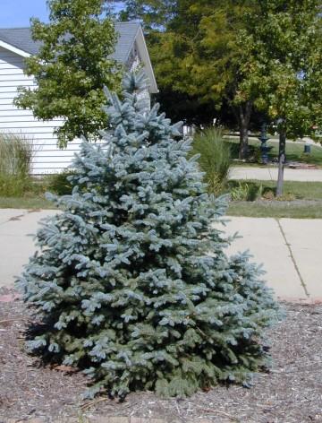 Picea pungens 'Fat Albert' (Świerk kłujący) - C7,5