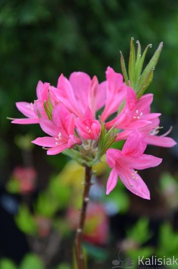 Rhododendron 'Rosy Lights' (Azalia wielkokwiatowa) - C7,5