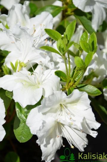 Rhododendron japanese azalea 'Schneesturm' (Azalia japońska) - C2