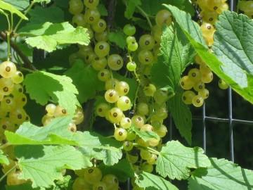 Ribes 'Blanca' (Porzeczka biała) - C3,5