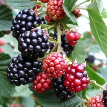Rubus fruticosus 'Chester' (Jeżyna bezkolcowa) - C2