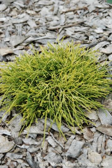 Chamaecyparis pisifera 'Sungold' (Cyprysik groszkowy) - C5