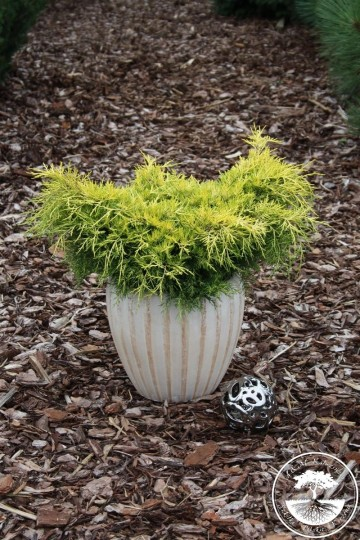 Juniperus x pfitzeriana 'Yellow Sapphire' (Jałowiec Pfitzera) - C5