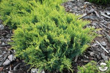 Juniperus virginiana 'Golden Spring' (Jałowiec wirginijski) - P14