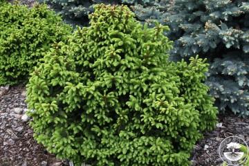Picea abies 'Ohlendorffii' (Świerk pospolity) - C2