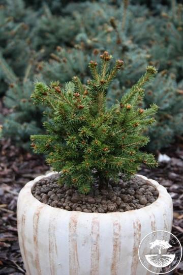 Picea abies 'Petra' (Świerk pospolity) - C5