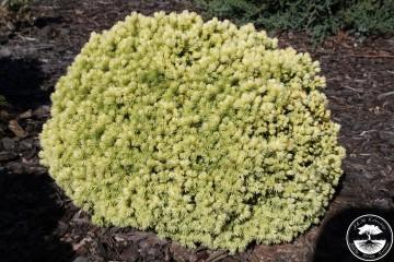 Picea glauca 'Dendrofarma Gold' (Świerk biały) - C2