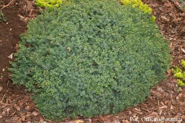 Picea glauca 'Echiniformis' (Świerk biały) - C5