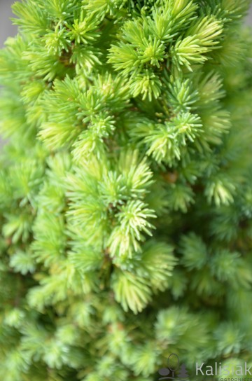 Picea glauca 'Sun on the Sky' (Świerk biały) - C3