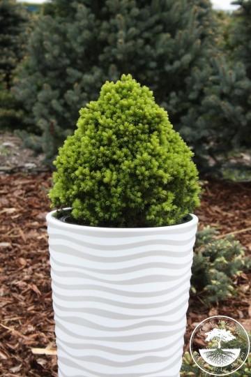 Picea glauca 'Skrzat' (Świerk biały) - C2