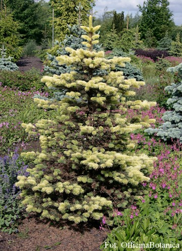 Picea pungens 'Maigold' (Świerk kłujący) - C5