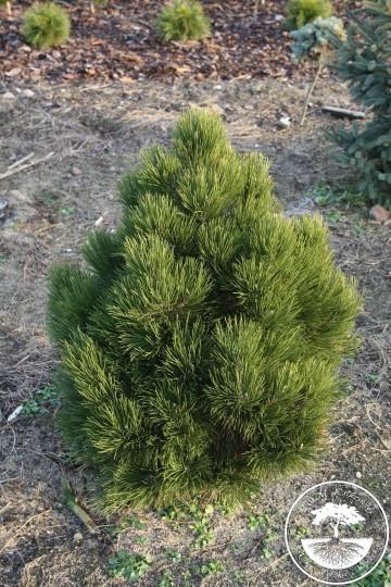 Pinus heldreichii 'Malinki' (Sosna bośniacka) - C5