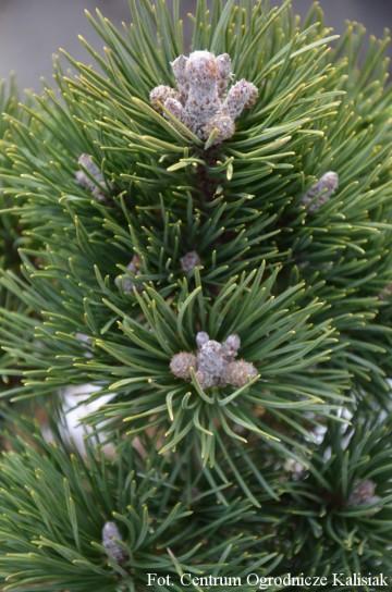 Pinus mugo 'Dom' (Sosna kosodrzewina) - C5