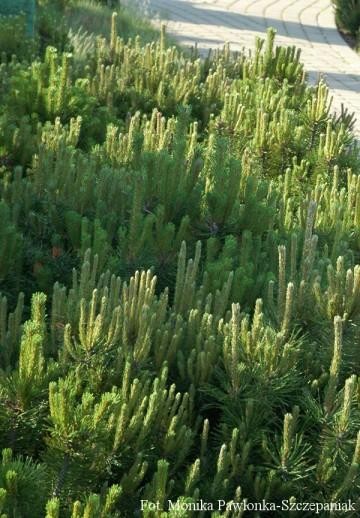 Pinus mugo 'Mops' (Sosna kosodrzewina) - C5