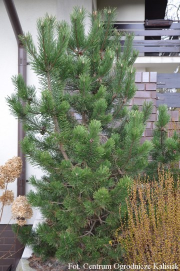 Pinus mugo 'Gnom' (Sosna kosodrzewina) - C5