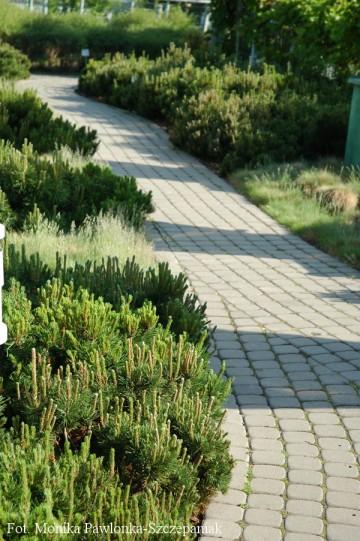 Pinus mugo var. pumilio (Sosna kosodrzewina var. pumilio) - C5