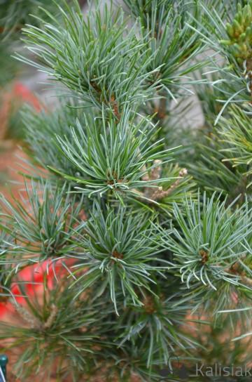 Pinus parviflora 'Negishi' (Sosna drobnokwiatowa) - C5 bonsai