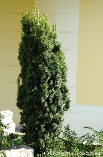 Taxus x media 'Hicksii' (Cis pośredni)  - C2