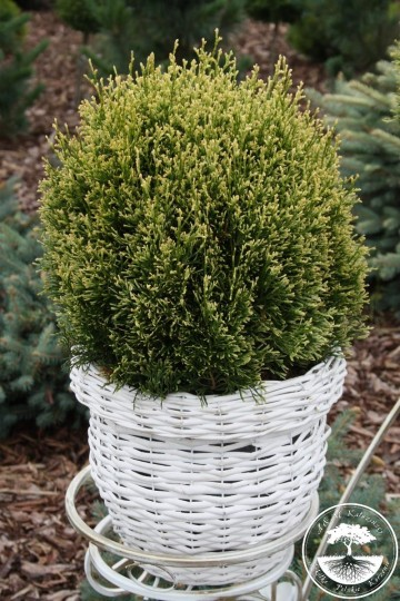 Thuja occidentalis 'Miss Frosty' (Żywotnik zachodni)  - C2