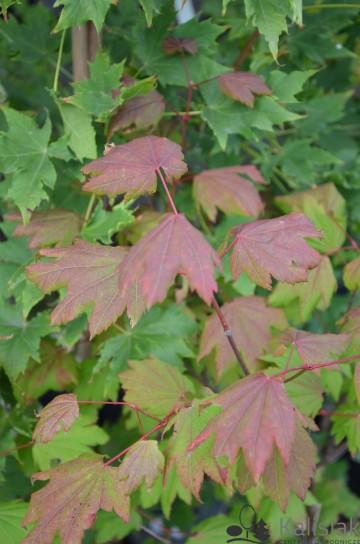 Acer circinatum (Klon okrągłolistny) - C5
